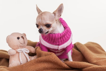 Stuffed Chihuahua Toy